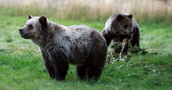 Fewer grizzly bears dying in Yellowstone area