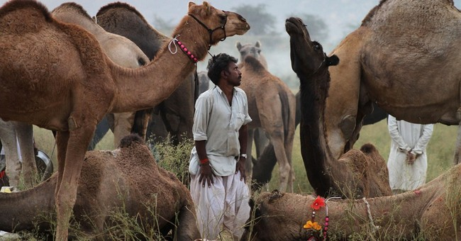 Image of Asia: Resting at the Pushkar cattle fair