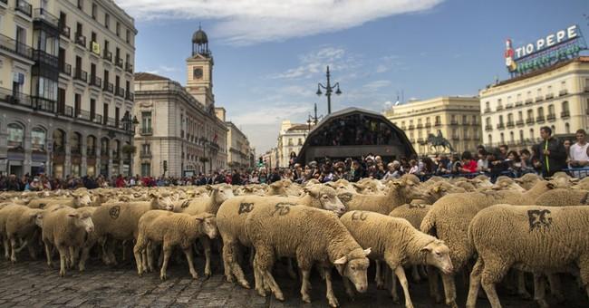 Spanish shepherds guide 2,000 sheep across Madrid