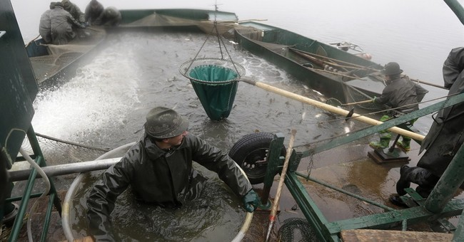 AP PHOTOS: Catching carp means Christmas is coming