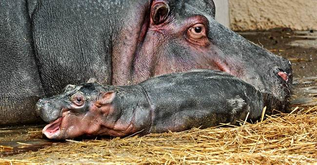 Los Angeles Zoo sees first hippo birth in 26 years