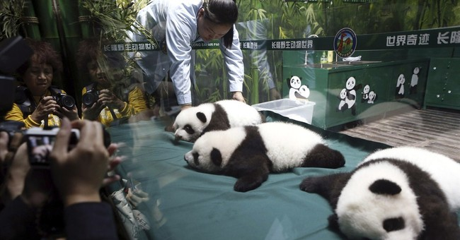 100-day-old panda cubs each 11 pounds with 2 teeth