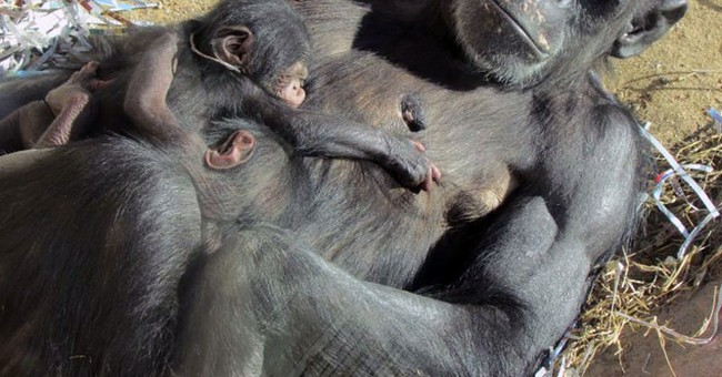 Chimpanzee at New Mexico zoo gives birth to twins