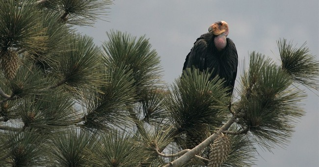2 endangered California condors sent to Mexico zoo