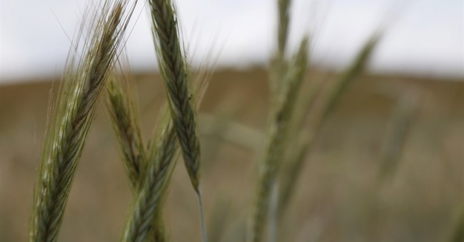 Cold snap helps wake up wheat and corn prices