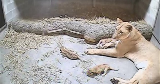 Lion gives birth to 3 cubs at Cincinnati Zoo