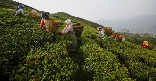 Image of Asia: Picking tea leaves in Nepal's hills