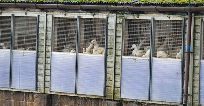 British, Dutch kill poultry to fight bird flu