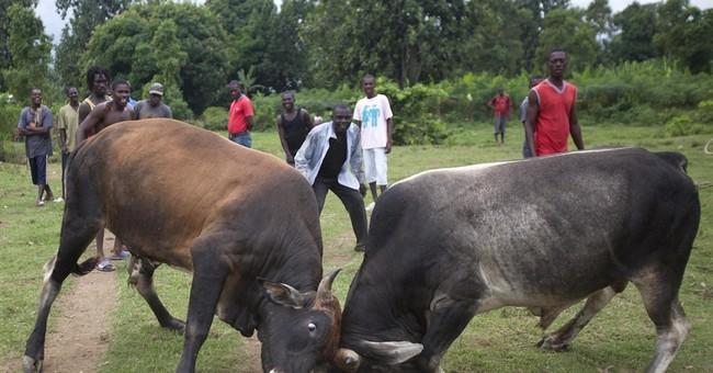 AP PHOTOS: Bulls fight for bets in rural Haiti