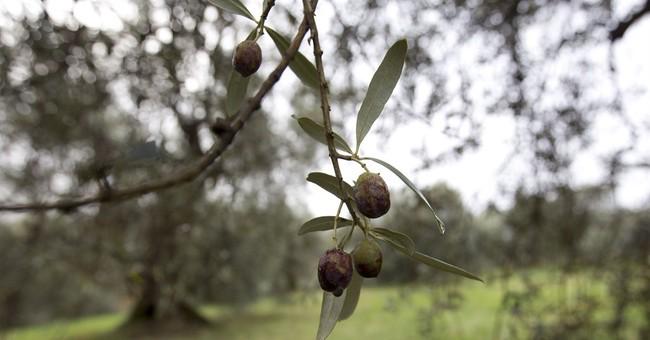 Blighted harvest drives olive oil price pressures
