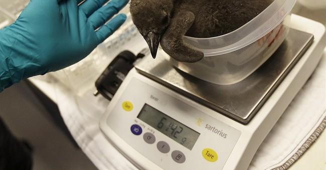 2 penguin chicks hatch at California academy