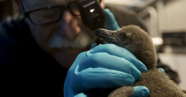 2 penguin chicks hatch at California academy