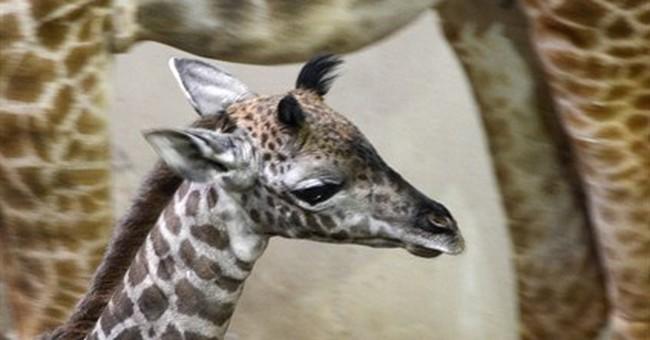 Baby giraffe steps out at Santa Barbara Zoo