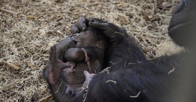 Como Zoo in Minnesota welcomes baby gorilla