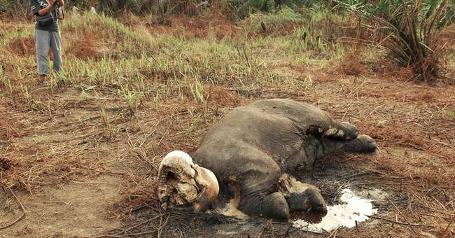 2 endangered elephants found dead in Indonesia