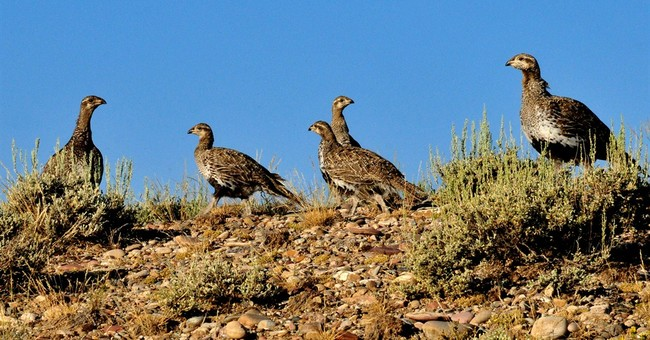 Report: Grouse needs 3-mile buffer from drilling
