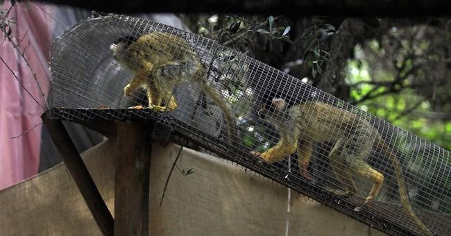AP Photos: Refuge takes smuggled monkeys in Chile