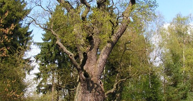 Fire damages 750-year-old oak tree in Poland