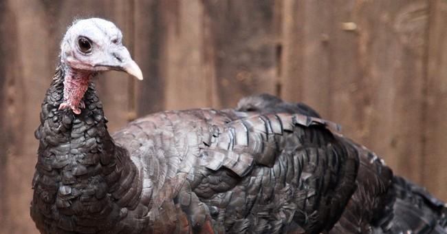 Turkey's great escape foils my Thanksgiving plans