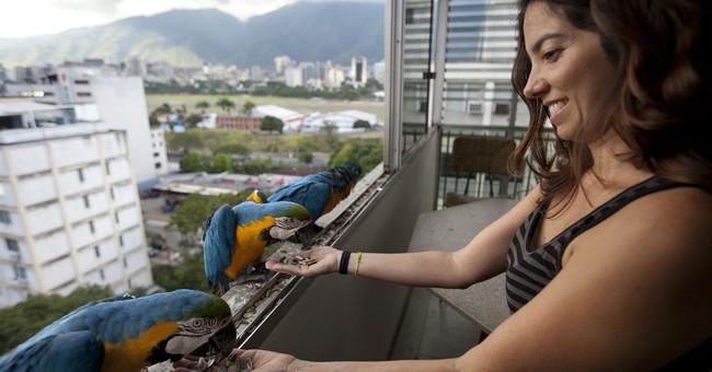 AP PHOTOS: Macaws bring harmony to Caracas' chaos