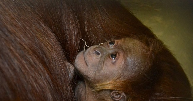 Endangered orangutan born at Indiana zoo