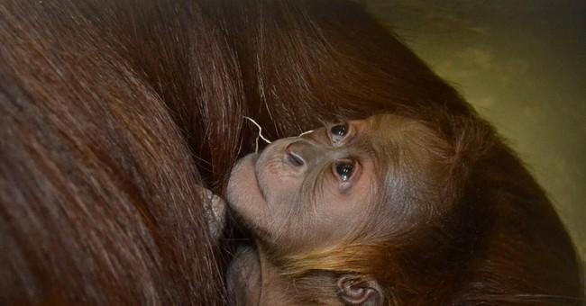 Endangered orangutan born at Indiana zoo