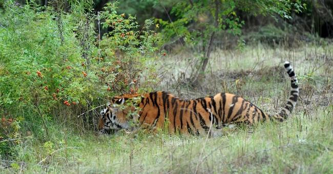 Putin's tiger ravages goat farm in northeast China