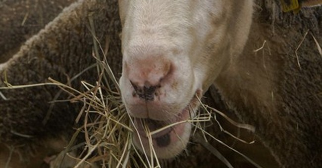 New breed of French protester: sheep
