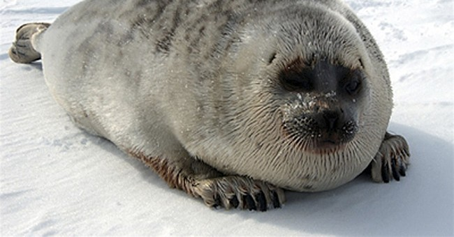 Agency proposes critical habitat for ringed seals