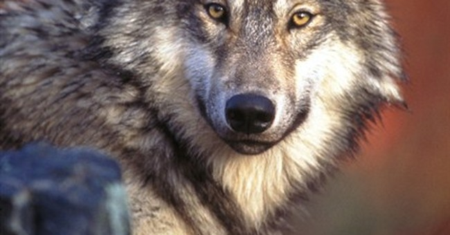 Wyoming, feds to appeal restored wolf protections