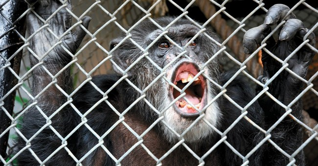 NY court: Chimps don't have same rights as humans