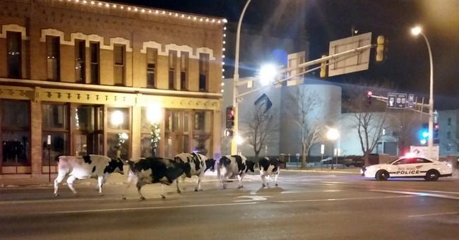MOO-ve over! Cows saunter through Minnesota town