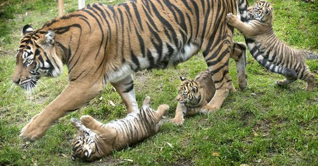 Tiger triplets have debut at Washington state zoo
