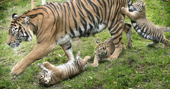 Tiger triplets have debut at Washington state zoo