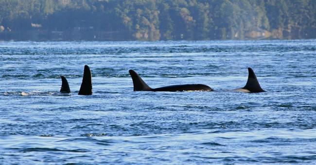 Endangered Puget Sound killer whale found dead