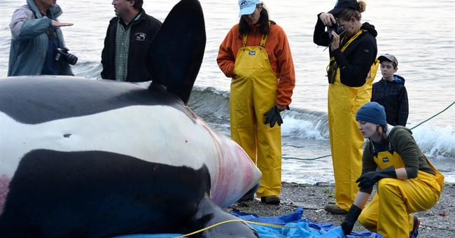 Dead orca was pregnant with full-term fetus