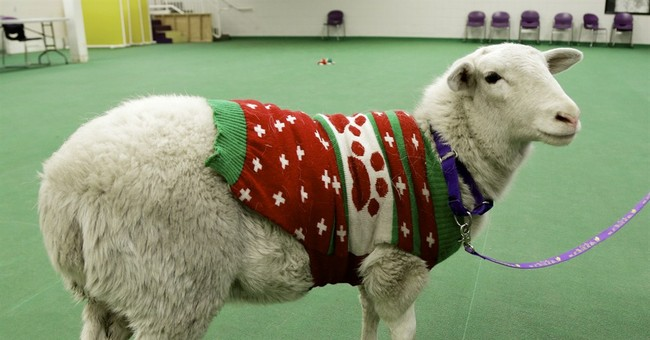 Owner reclaims sheep wearing holiday sweater