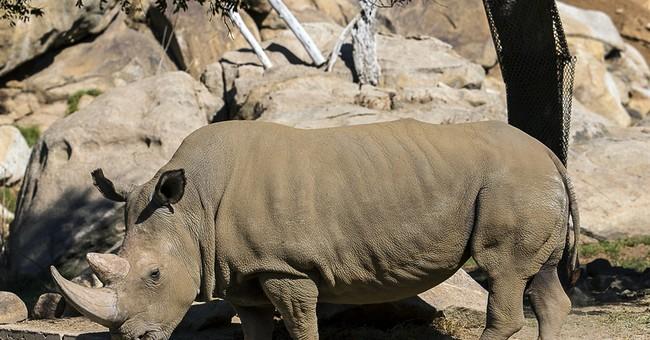 Rare northern white rhino dies at California zoo