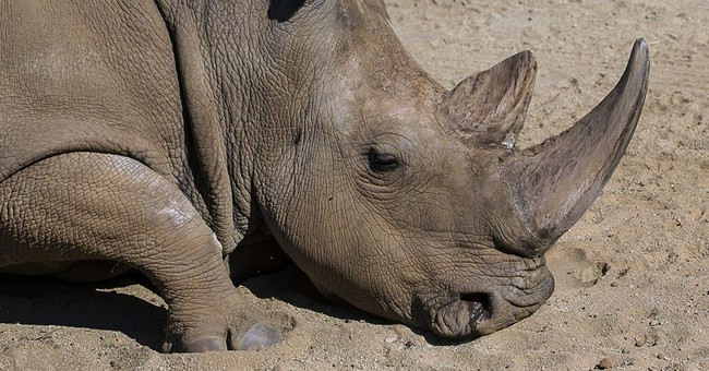 Rare northern white rhino dies at California zoo