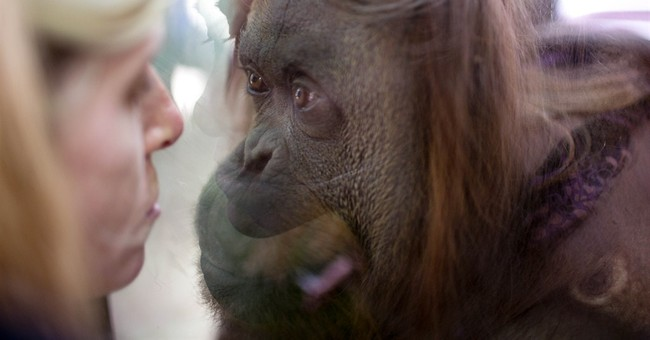 Argentina: Court grants orangutan basic rights