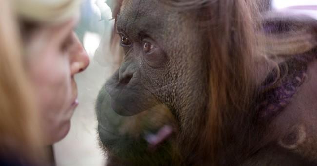 Argentina: Court grants orangutan basic rights