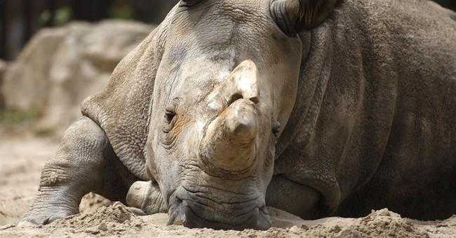 Efforts to save rare northern white rhino continue