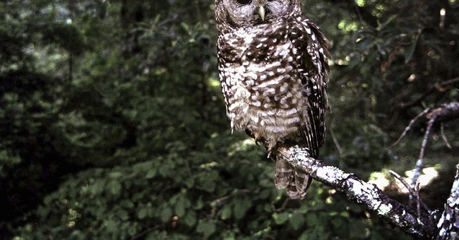 Wildlife groups seek help for California owl