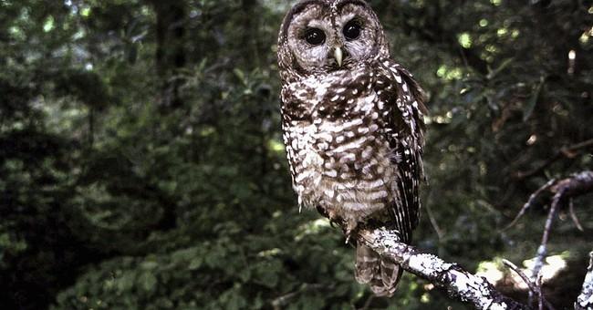Wildlife groups seek help for California owl