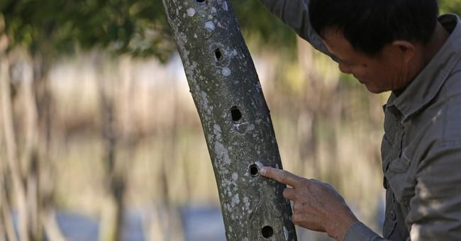 Incense trees flourish again in Hong Kong