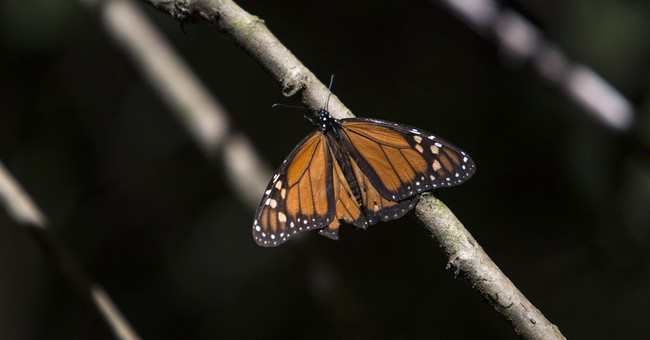 More Monarchs return to Mexico, but now face cold