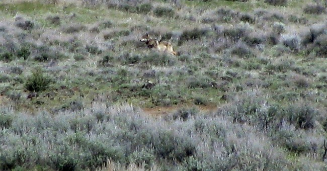 Panel says federal wolf plan used unproven science