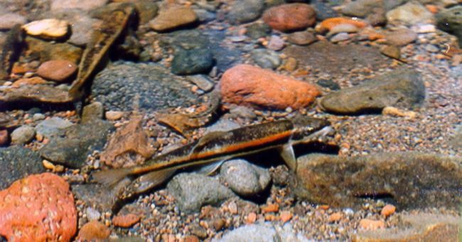 Feds: Small Ore., Calif. fish no longer endangered