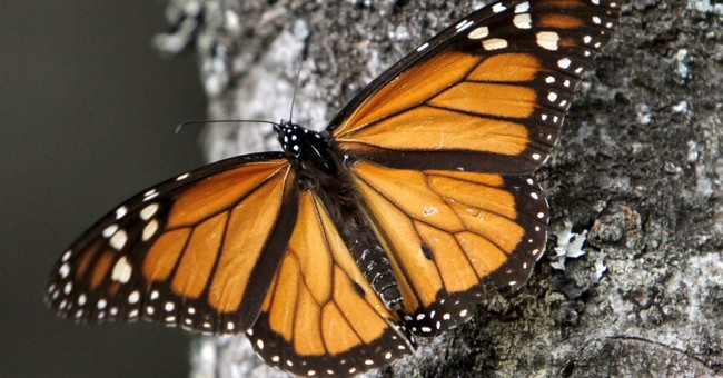 Writers ask for monarch butterflies' protection