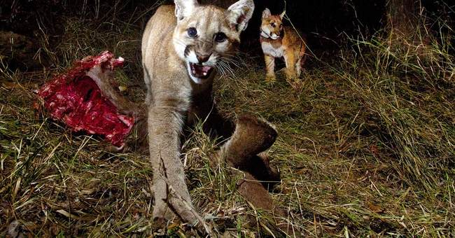Camera catches mountain lion kittens feeding